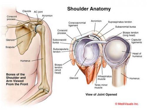 resized_500x375_shoulder_anatomy